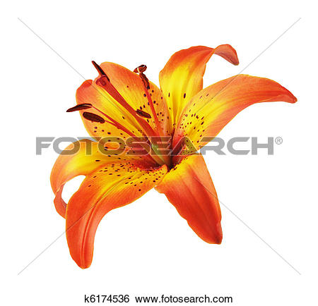 Stock Images of Yellow Orange Lily k6174536.