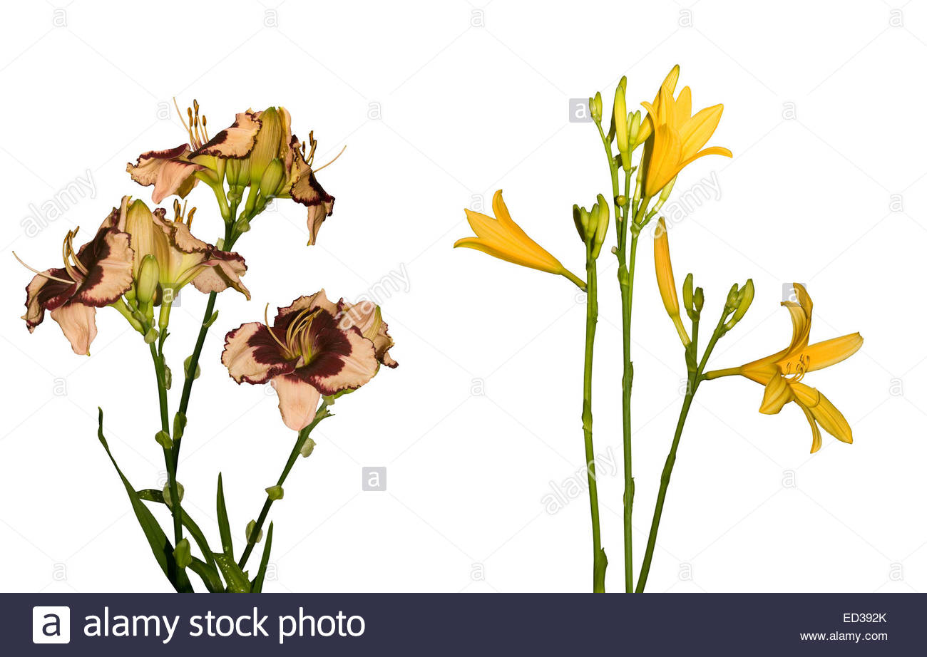 Triploid & Diploid Daylily Flowers Side By Side, Red Flowers Of.