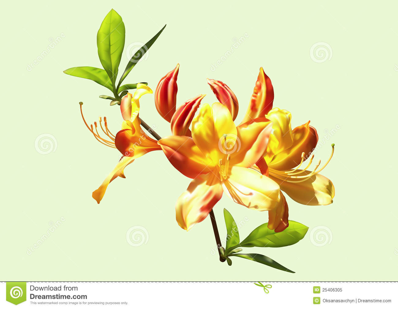 Rhododendron Stock Illustrations.