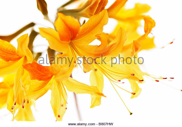 Yellow Rhododendron Stock Photos & Yellow Rhododendron Stock.