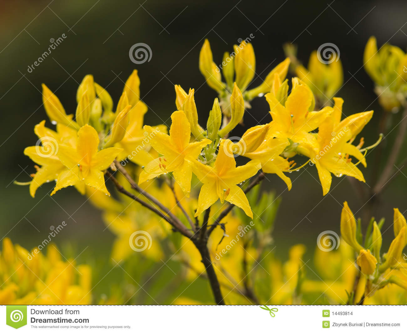Yellow Rhododendron Stock Images.