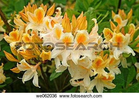 Stock Images of Azalea (Rhododendron hybr. ?Bridesmaid?) in Royal.