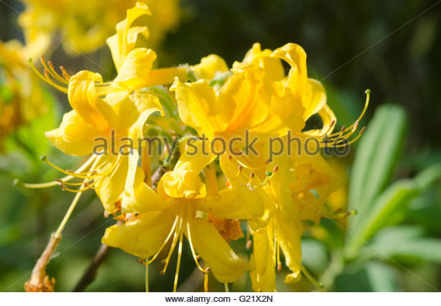 Rhododendron Yellow Stock Photos & Rhododendron Yellow Stock.