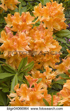 """Stock Photo of """"Blooming yellow Rhododendron (Rhododendron molle."""