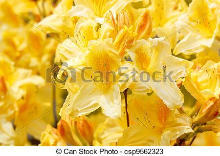 Stock Photos of Yellow azalea rhododendron flowers in full bloom.