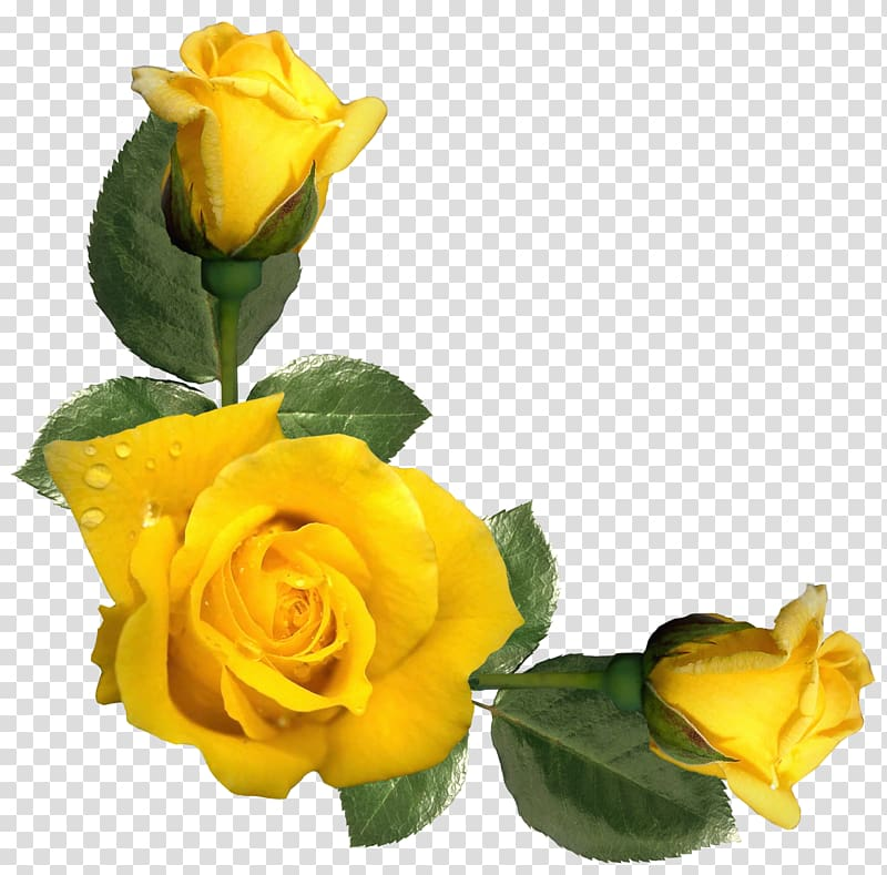 Yellow roses, Rose Yellow Flower , Beautiful Yellow Roses.