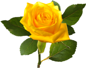 Download bleautiful yellolw rose, yellow rose bush png.