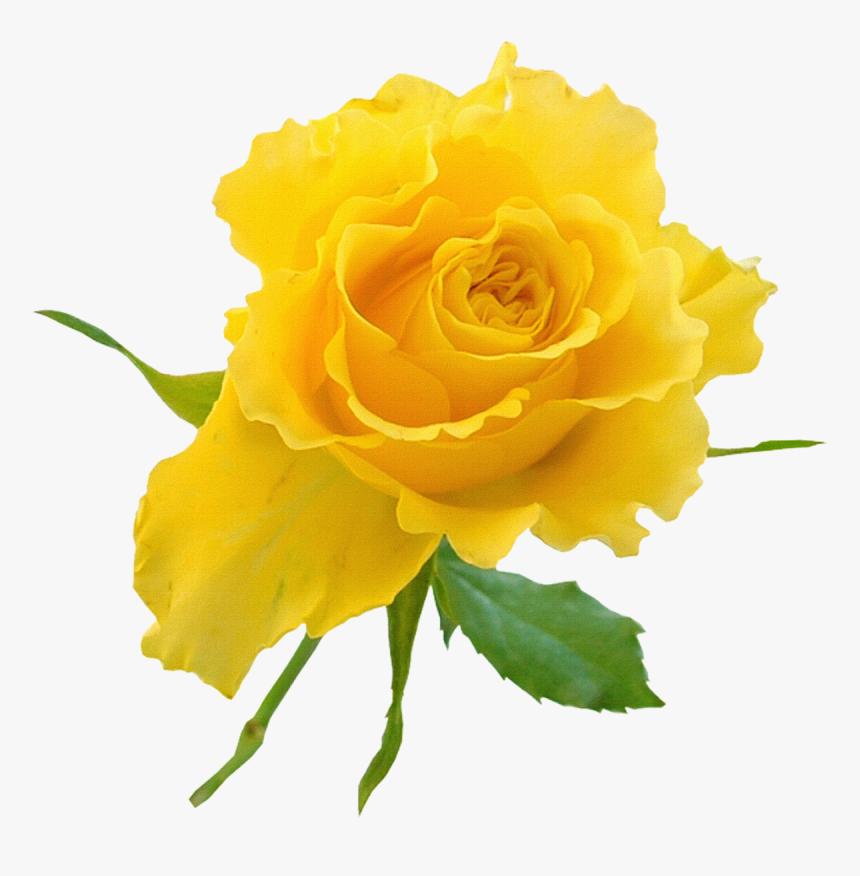 Transparent Background Yellow Rose Clipart , Transparent.