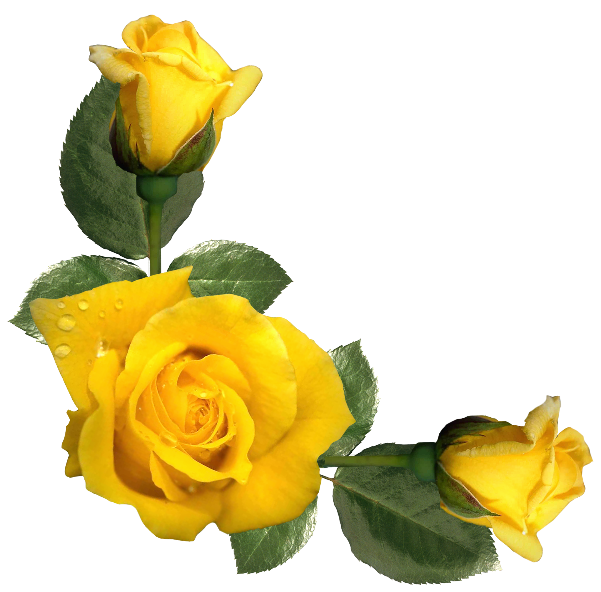 Yellow Roses Png & Free Yellow Roses.png Transparent Images.