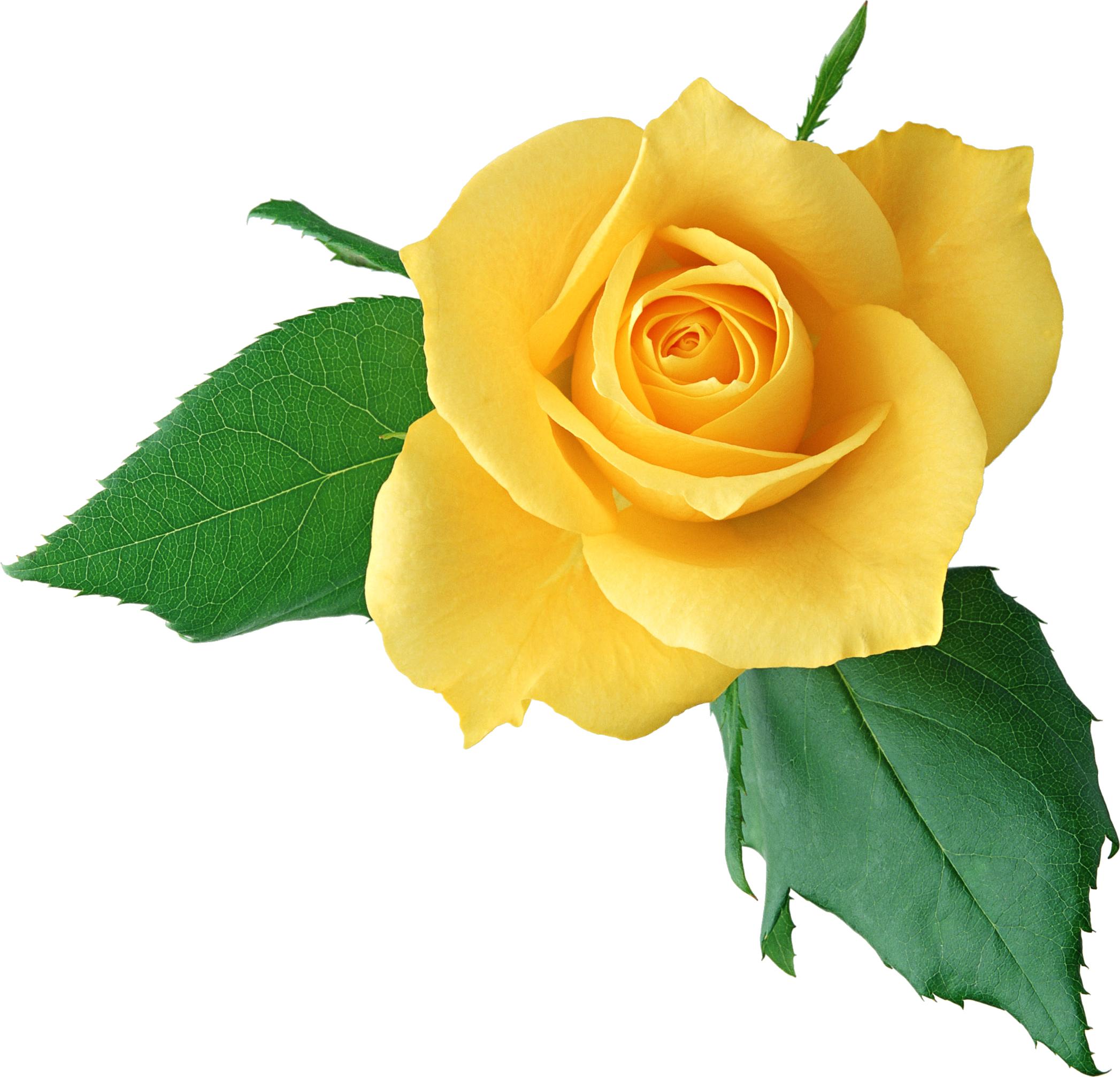 Rose Yellow Clip art.