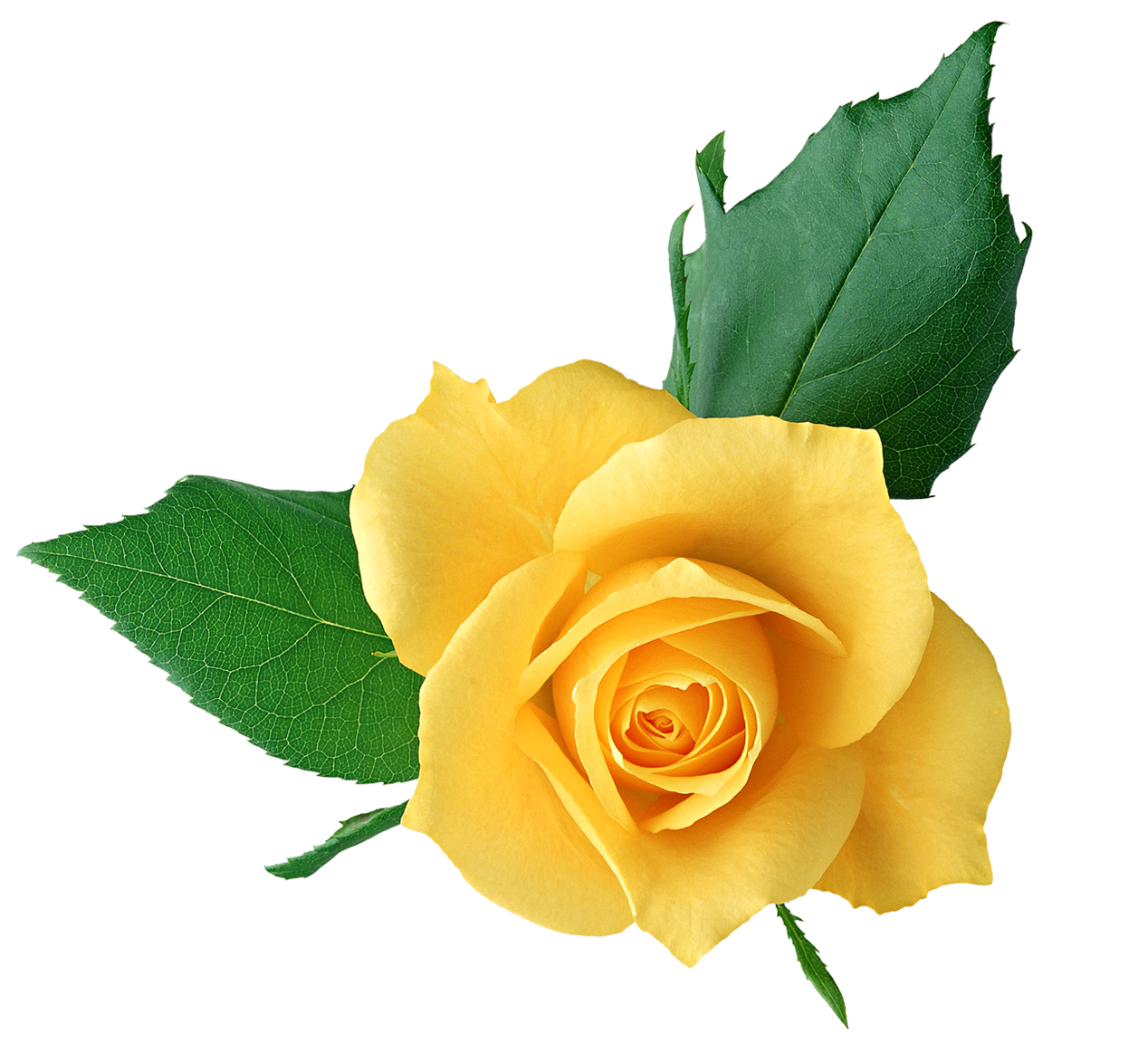 Yellow Rose PNG Transparent Picture.