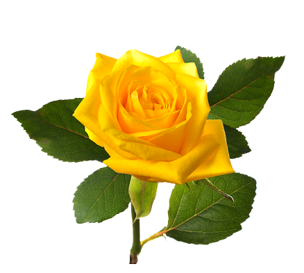 Yellw Rose png Transparent images free gallery.