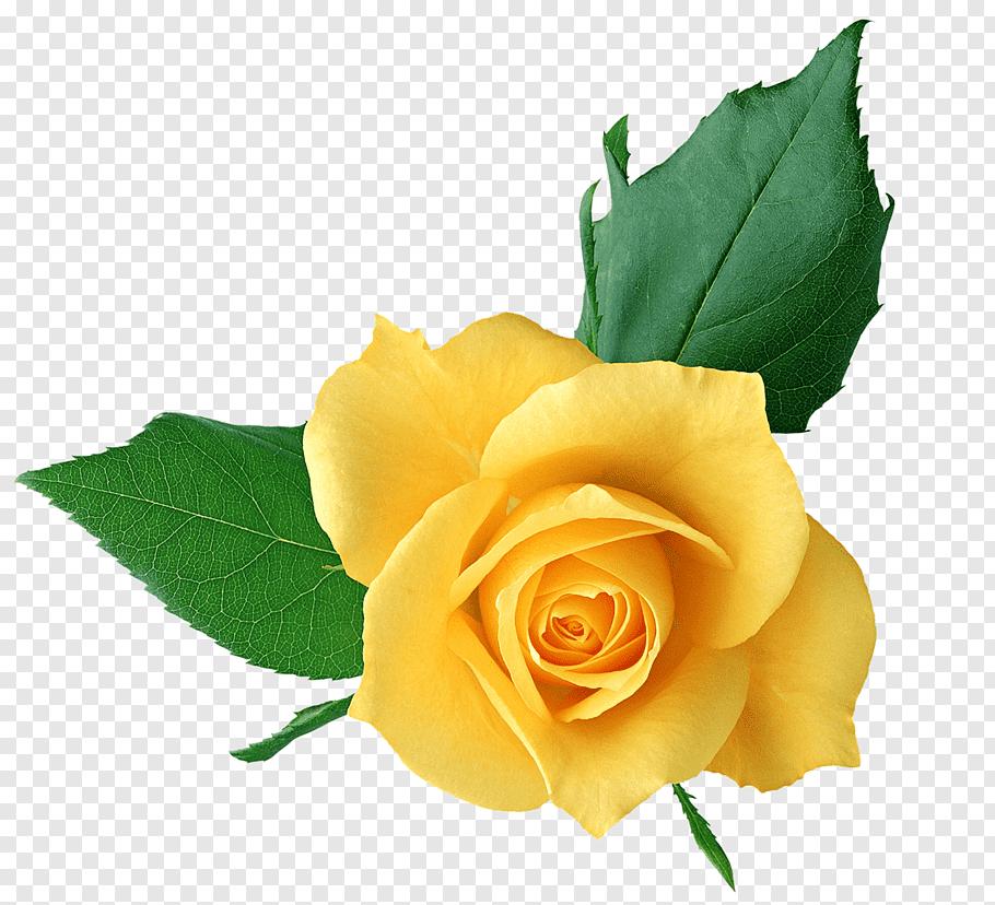 Rose Yellow, Yellow Rose, yellow rose in bloom against blue.