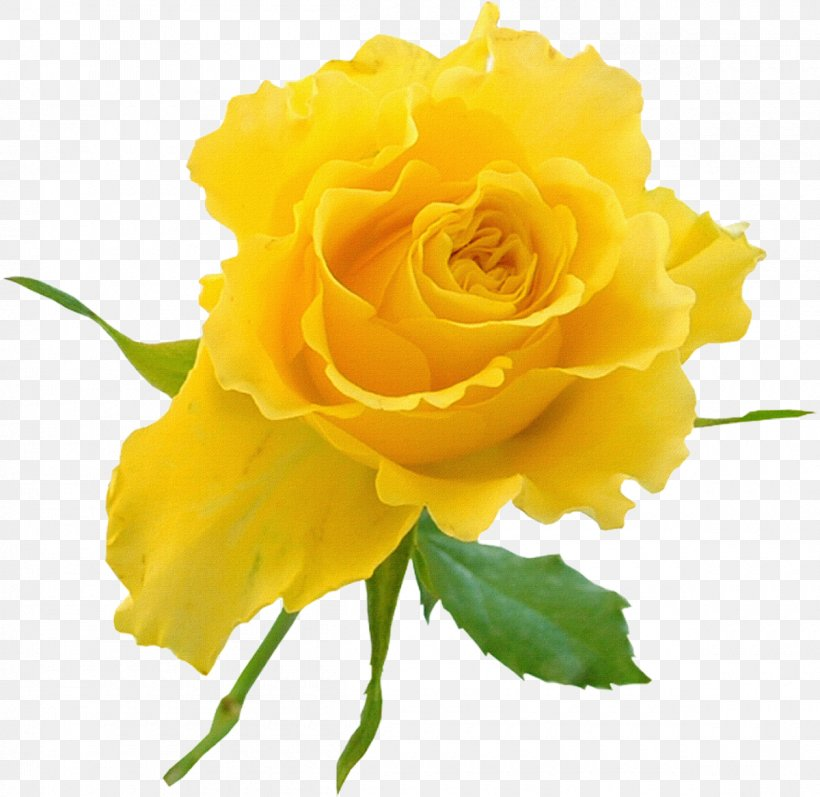 Garden Roses Yellow Flower Clip Art, PNG, 1200x1167px, Rose.