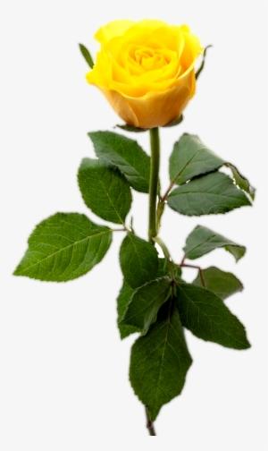 Yellow Rose PNG, Transparent Yellow Rose PNG Image Free.