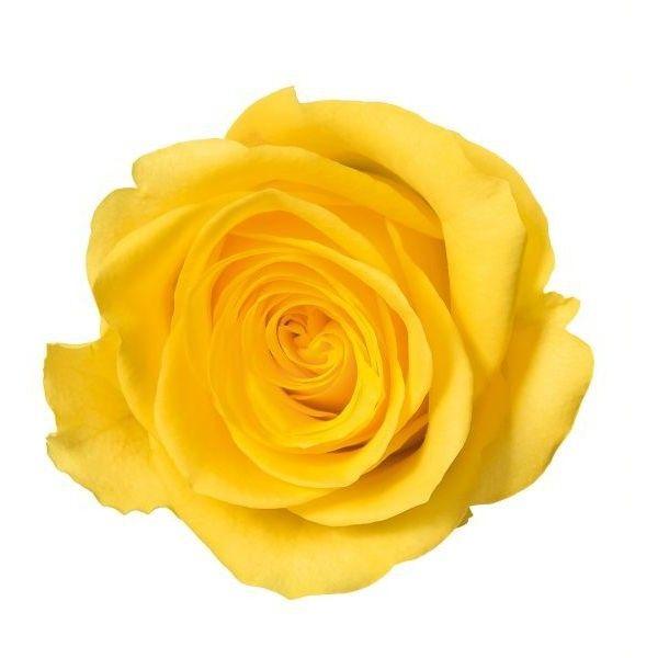 yellow rose no background.