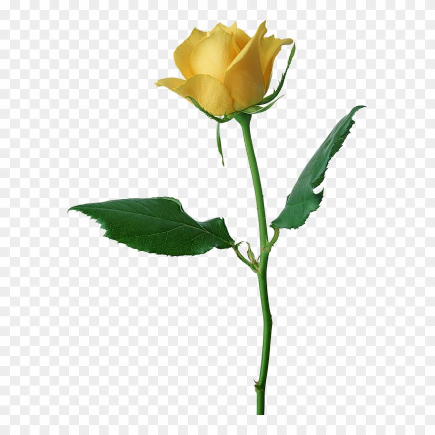 Valentine Rose [all Transparent Ones/.