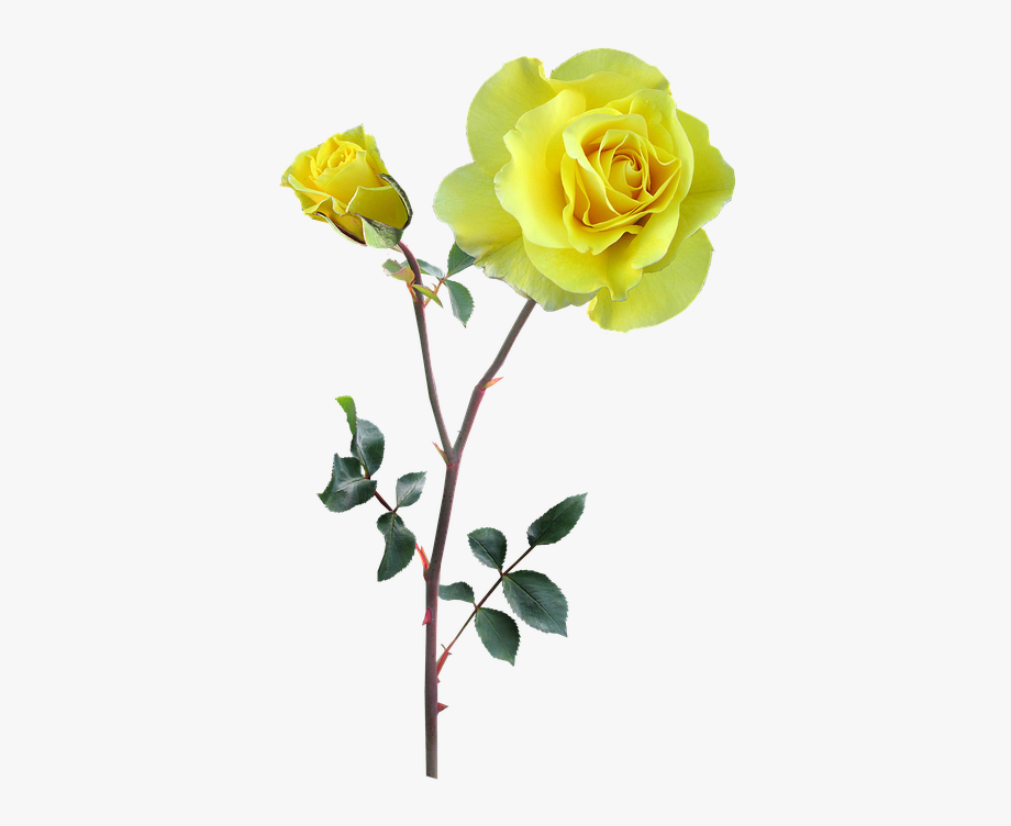 Rose, Yellow, Stem, Flower.