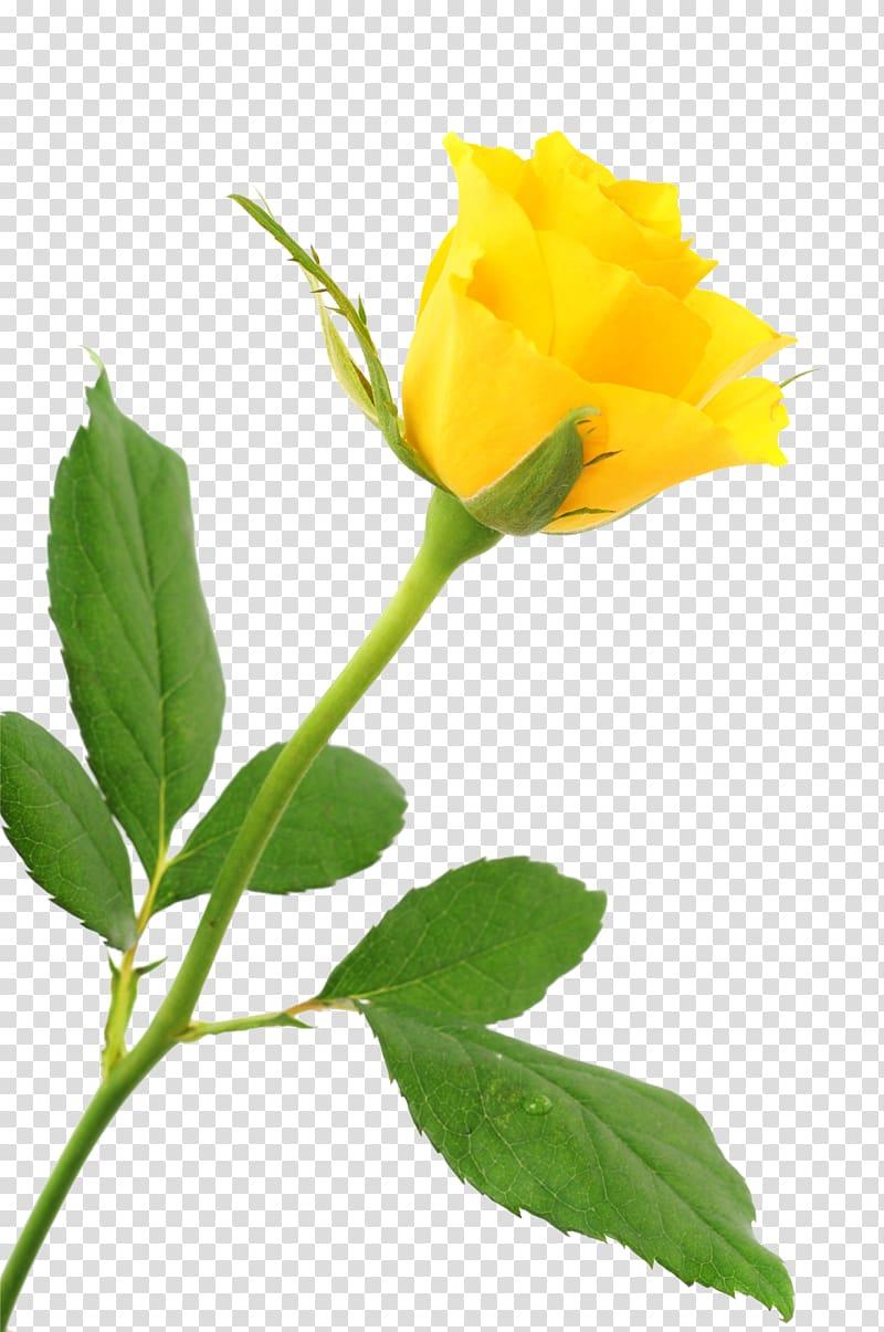 Yellow rose , Beach rose Yellow, A yellow rose transparent.