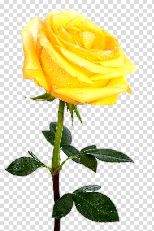 Rose Yellow Desktop , yellow rose transparent background PNG.