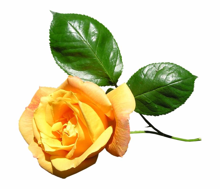 Yellow Rose Stem Flower Yellow Rose With Stem.