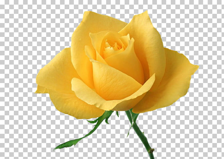 Rose Yellow Flower , Yellow Rose PNG clipart.
