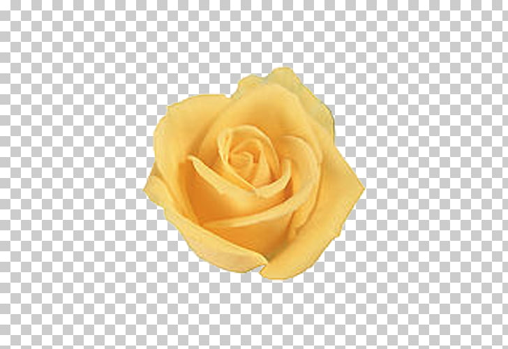 Rose Yellow Flower , Yellow roses PNG clipart.