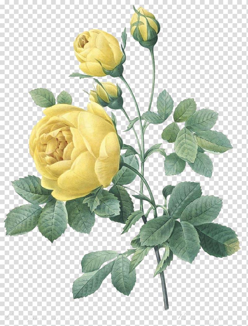 Three yellow rose flowers illustration, Botanical.
