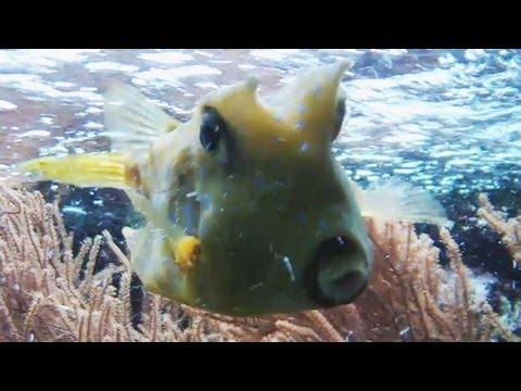 HD] Moo! Cowfish in da tank / Kuhfisch @ Allwetterzoo Münster [21.