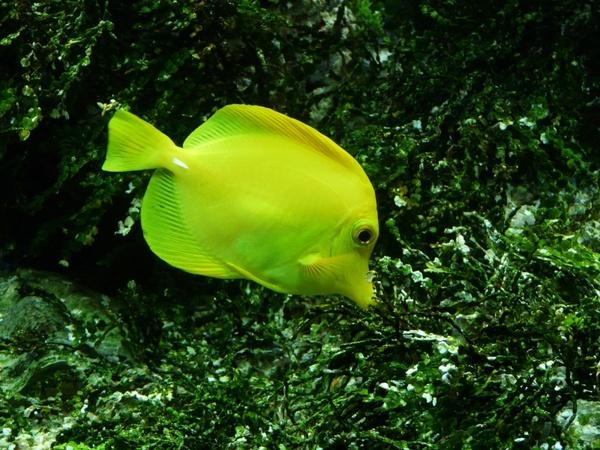 Yellow segelflossendoktor fish zebrasoma flavescens Free stock.