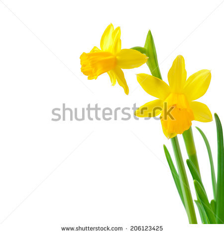 Yellow daffodil free stock photos download (3,823 Free stock.