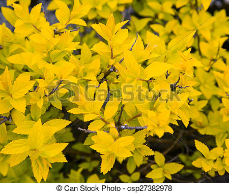 Picture of bush with yellow leaves.