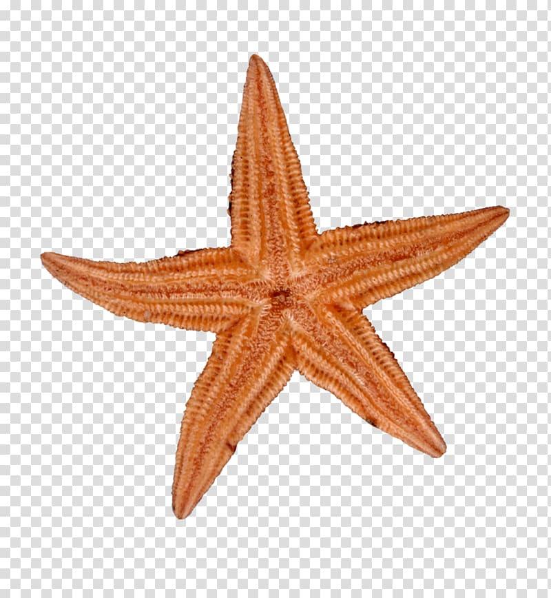 Starfish, Yellow starfish transparent background PNG clipart.