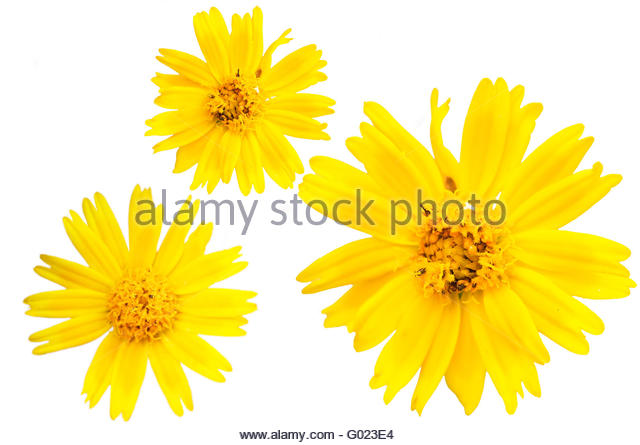 Argyranthemum Cut Out Stock Images & Pictures.