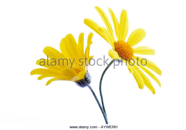 Dill Daisies Stock Photos & Dill Daisies Stock Images.