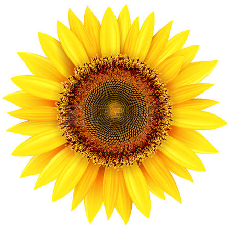 21,468 Sunflower Cliparts, Stock Vector And Royalty Free Sunflower.