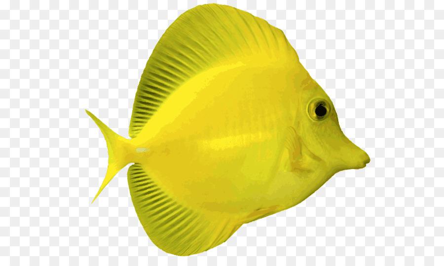 Angelfish Yellow tang Blue Tang Saltwater fish Clip art.
