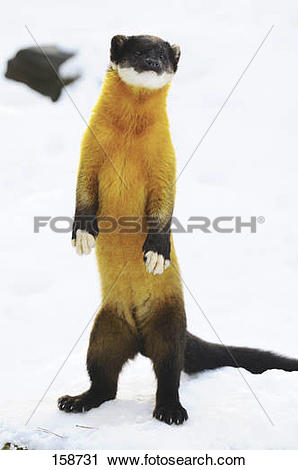 Yellow throated marten Images and Stock Photos. 75 yellow throated.