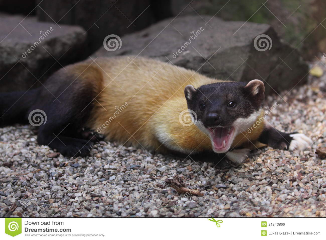 Yellow Throated Marten Royalty Free Stock Photography.