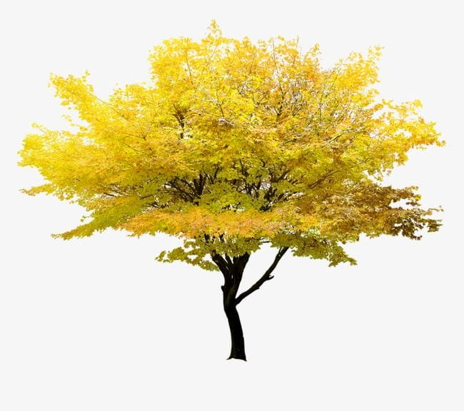 Yellow Tree PNG, Clipart, Leaf, Tree, Tree Clipart, Tree.