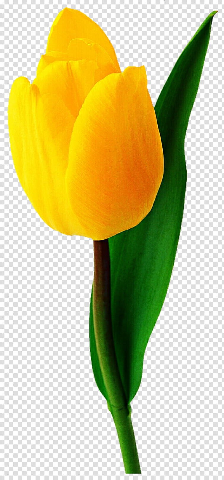 Chiffon Yellow Tulip transparent background PNG clipart.