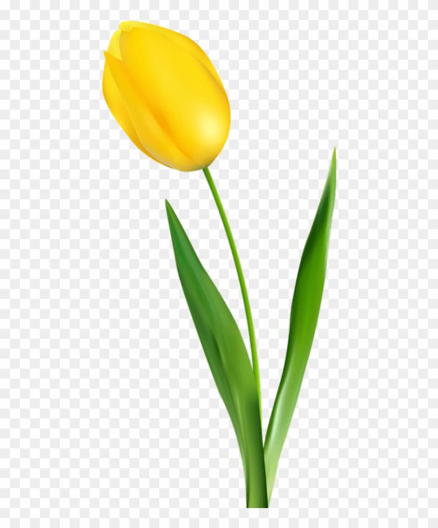 Free Png Yellow Tulip Transparent Png Images Transparent.