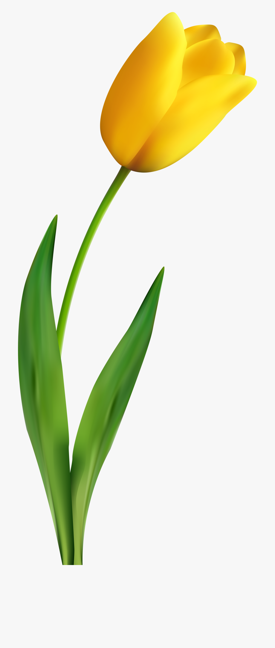 A Yellow Tulip, Tulips, Flowers Png Image And Clipart.