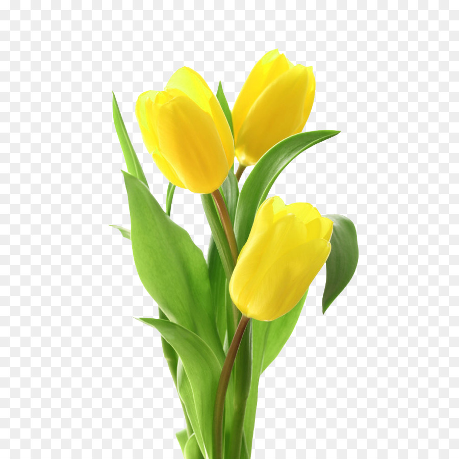 Yellow Tulip Png & Free Yellow Tulip.png Transparent Images #17589.