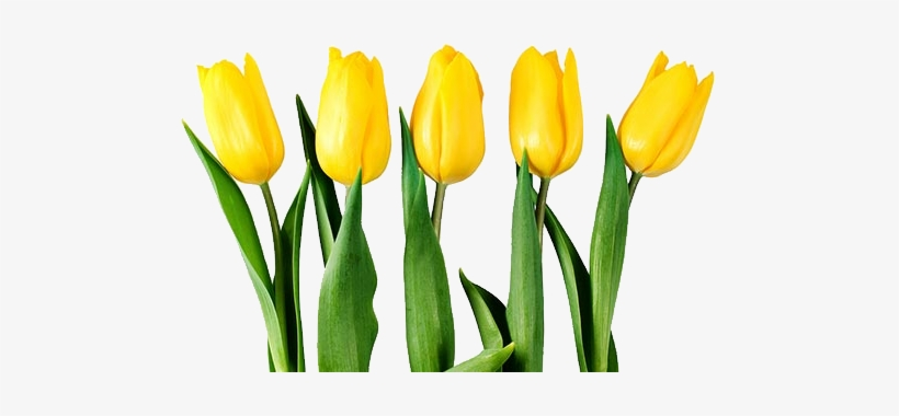 Yellow Tulip Flower Png.