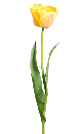 Yellow Tulips Clipart.