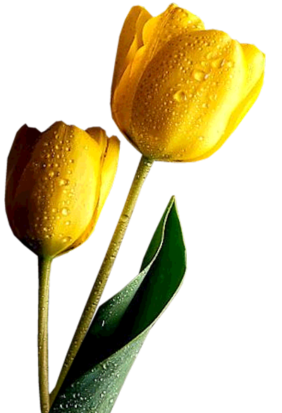 Yellow_Tulips_Clipart.png?m=1364940000.