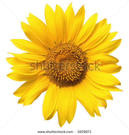 "sunflower_close_up"" Stock Photos, Royalty."