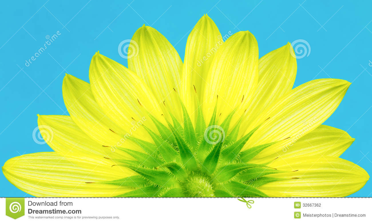 Underside Of Yellow Sunflower Stock Photography.