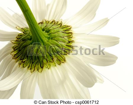 Stock Photo of Daisy underside.